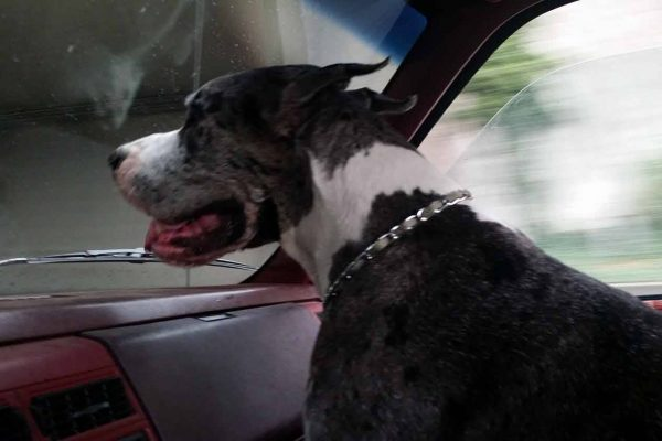 Photo of a great dane looking out the windshield while riding in a pet taxi.
