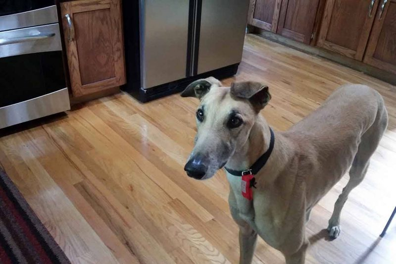 Photo of a greyhound in a kitchen