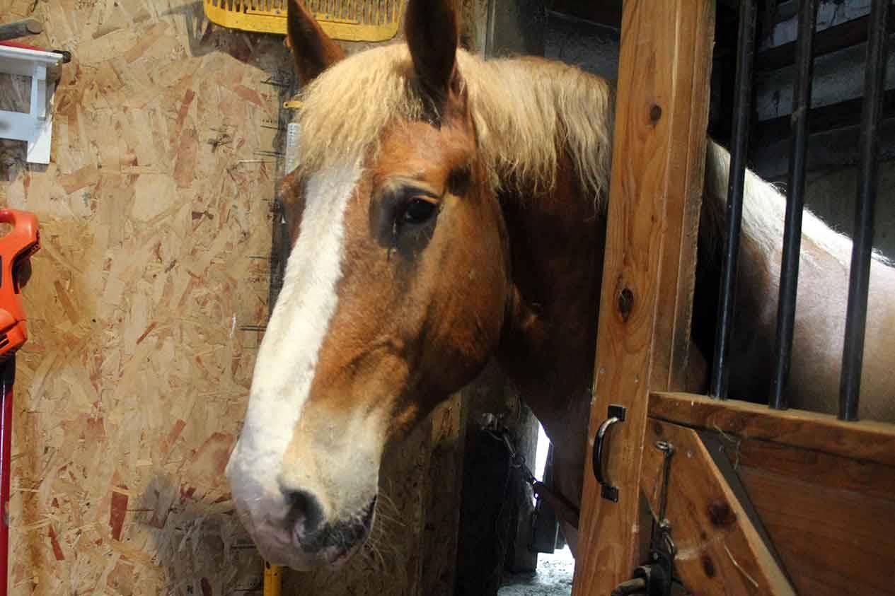 Horse Sitting - Draft horse
